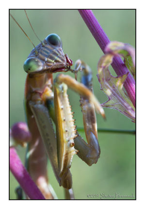 Tenodera Sinensis - Cleaning Up